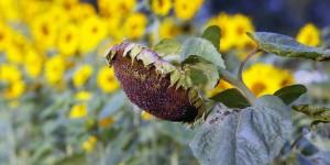 SonnenblumeGREEN