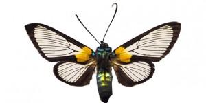 Arctiidae on white ground PUBLICATIONxINxGERxSUIxAUTxHUNxONLY AMF003849