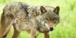 Europaeischer Wolf Europaeischer Grauwolf Gewoehnlicher Wolf Gemeiner Wolf Canis lupus lupus W